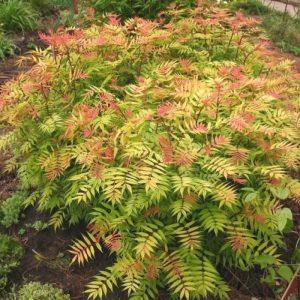 Šermukšnialapė lanksvūnė 'Sem' (Sorbaria sorbifolia 'Sem')