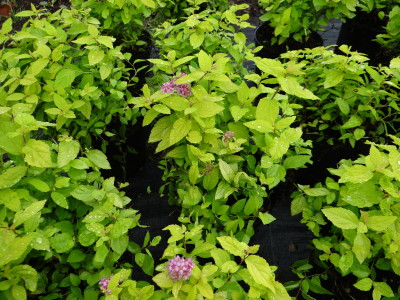 Japoninė lanksva 'Golden Princess' (Spiraea japonica 'Golden Princess')