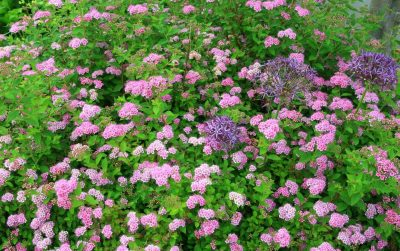Japoninė lanksva 'Little Princess' (Spiraea japonica 'Little Princess')