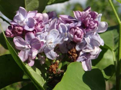 Alyva 'Katherine Havermeyer' (Syringa vulgaris 'Katherine Havermeyer')