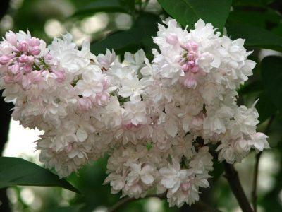 Alyva 'Krasavitsa Moskvy' (Syringa vulgaris 'Krasavitsa Moskvy')