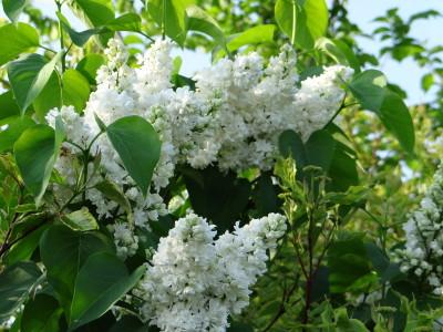 Alyva  'Madame Lemoine' (Syringa vulgaris  'Madame Lemoine')