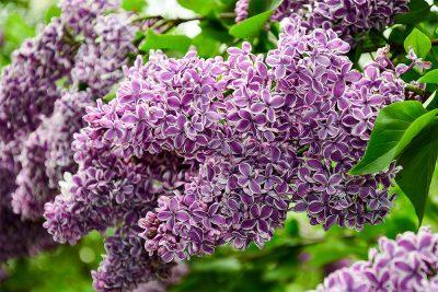 Alyva 'Sensation' (Syringa vulgaris 'Sensation')