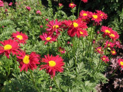 Rausvažiedis skaistenis 'Robinson's Red' (Tanacetum coccineum 'Robinson's Red')