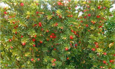 Europinis kukmedis (Taxus baccata)