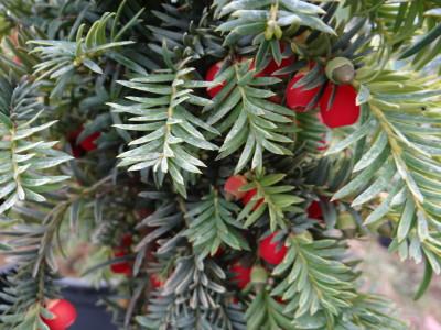 Europinis kukmedis 'Dovastoniana' (Taxus baccata 'Dovastoniana')