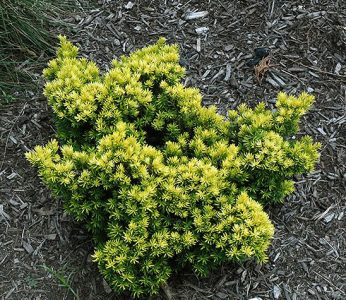 Dygusis kukmedis 'Nana' (Taxus cuspidata 'Nana')