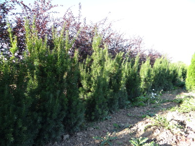 Tarpinis kukmedis 'Hicksii' (Taxus media 'Hicksii')