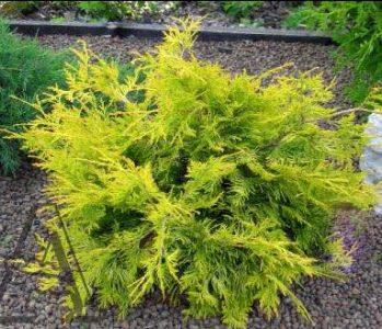 Vakarinė tuja 'Aurea Kordusi' (Thuja occidentalis 'Aurea Kordusi')