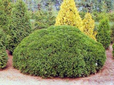 Vakarinė tuja 'Umbraculifera' (Thuja occidentalis 'Umbraculifera')