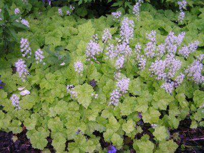 Tiarelė (Tiarella cordifolia)