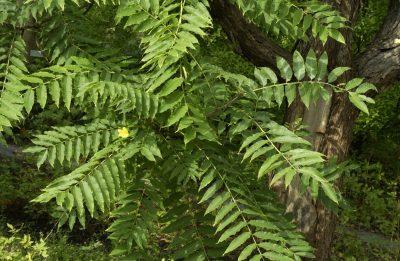 Kininis indenis (Toona sinensis)