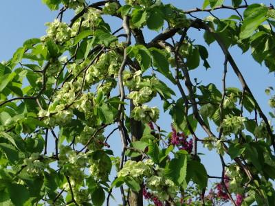 Kalninė guoba 'Camperdownii' svyranti (Ulmus glabra 'Camperdownii')