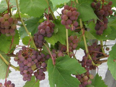 Vynmedis  'Širvinta' (Vitis 'Širvinta')