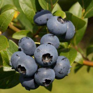 Šilauogė aukštoji 'Bluecrop' (Vaccinium corymbosum 'Bluecrop')