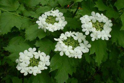 Paprastasis putinas (Viburnum opolus)