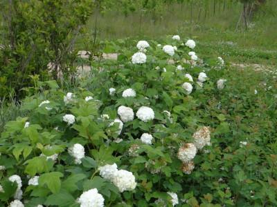 Paprastasis putinas 'Roseum' (Viburnum opolus 'Roseum')