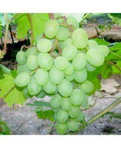 Vynmedis  'Besėklė' (Vitis 'Besėklė')