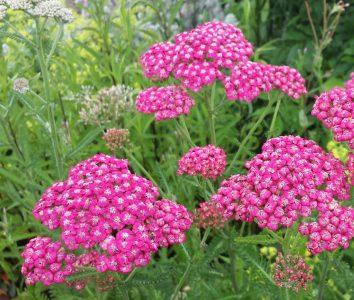 Paprastoji kraujažolė 'Cerise Queen' (Achillea millefolium 'Cerise Queen')