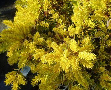 Europinis kukmedis 'Summergold' (Taxus baccata 'Summergold')