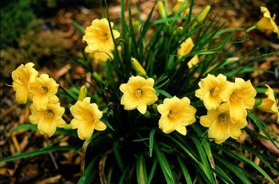 Viendienė 'Stella de Oro' (Hemerocallis 'Stella de Oro')